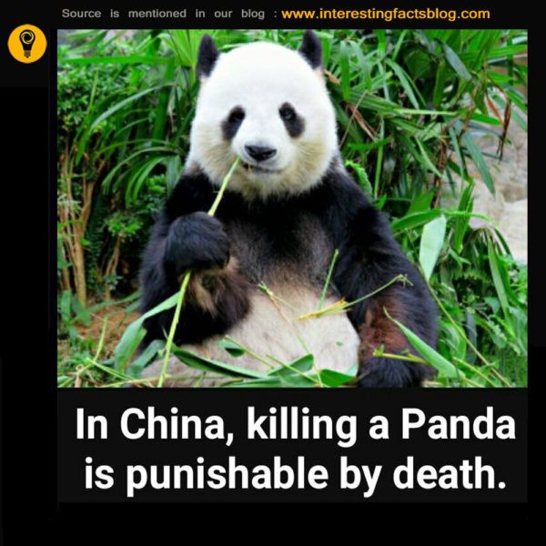 Know more information about killing a panda in china is punishable by death, panda poaching facts, panda killing human at www.interestingfactsblog.com