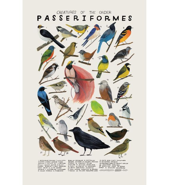Creatures of the order Passeriformes- vintage inspired science poster by Kelsey Oseid