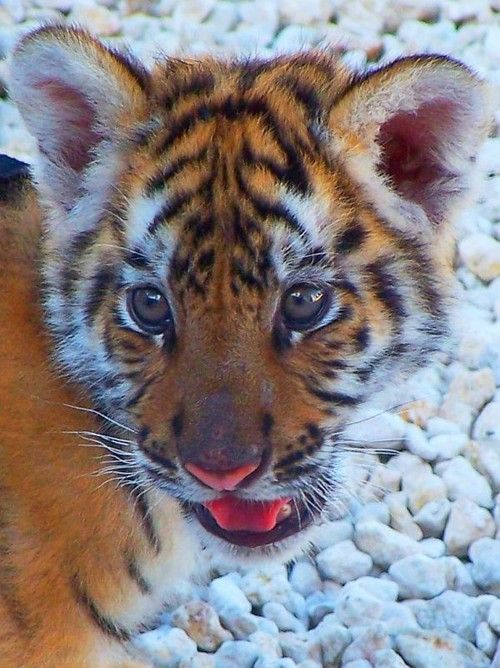 Tired Tiger Lying On Green Screen. Shot With Red Camera ... |Bengal Tiger Tired