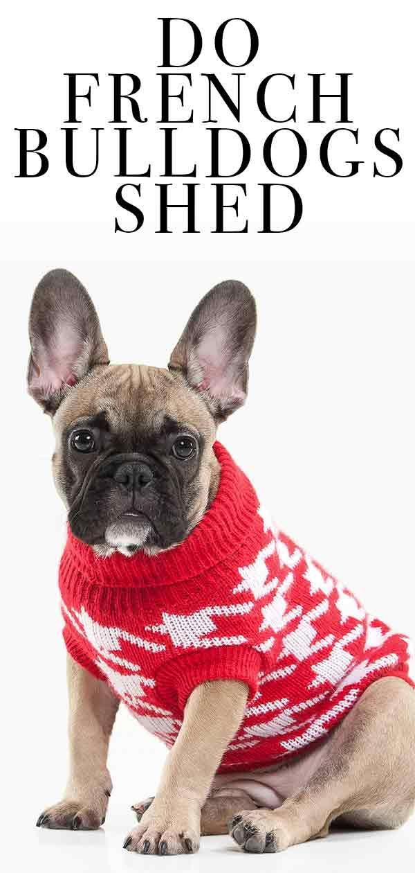 Do French Bulldogs Shed Will Your New Pup Make A Mess French