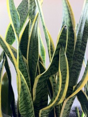 "Poisonous to: Cats, Dogs Level of toxicity: Generally mild to moderate, depending on the amount ingested  signs to watch for;  Drooling, Vomiting, Diarrhea Mother-in-law's tongue is named after its long, lashing shape  This plant, the Sansevieria trifasciata, is to be differentiated from other type of ""Mother-in-law"" vs. ""Mother-in-law plant."" This common house and office plant is also called the Good Luck plant or Golden Bird's Nest,  Sansevieria, trifasciata, snake plant"