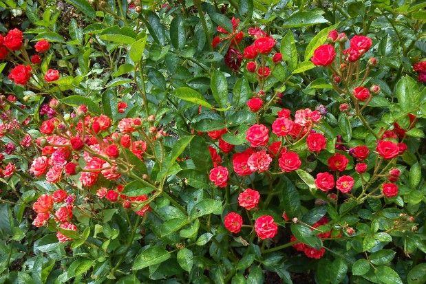 Róża miniaturowa odm. Orange Sensation. Fot. D. Makowski