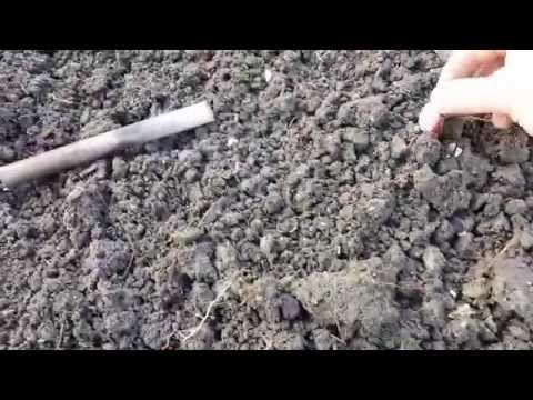 Michel's vlog: mijn tenen groeien. #video #moestuin #knoflook #planten
