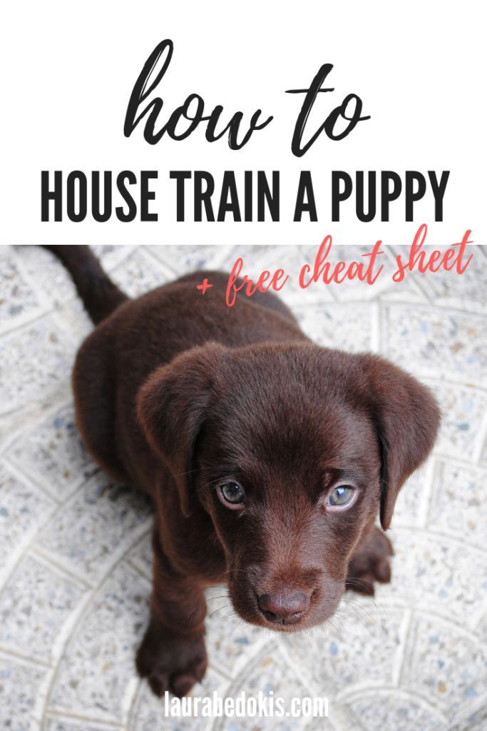House Training Tips For Your New Puppy Labrador Retriever Brown