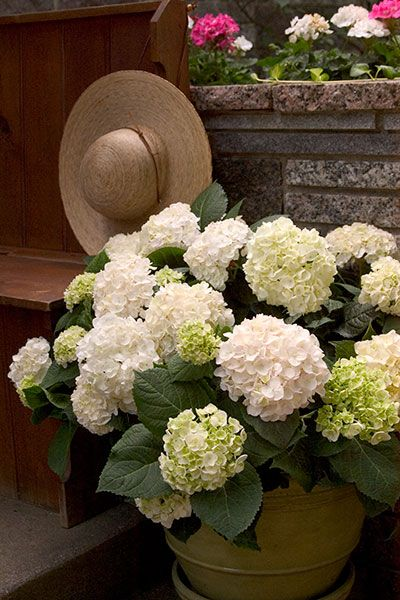 Blushing Bride (Hydrangea macrophylla 'Blushing Bride') is part of the Endless…