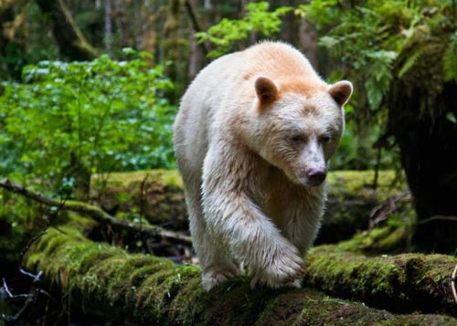 KERMODE BEAR (SPIRIT BEAR) - IN A MOSS-DRAPED RAIN FOREST IN BRITISH COLUMBIA, TOWERING RED CEDARS LIVE A THOUSAND YEARS, AND BLACK BEARS ARE BORN WITH WHITE FUR. PHOTOGRAPHS BY PAUL NICKLEN.