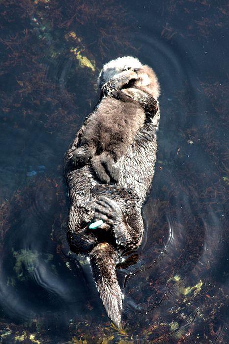 mom and cub sea otters