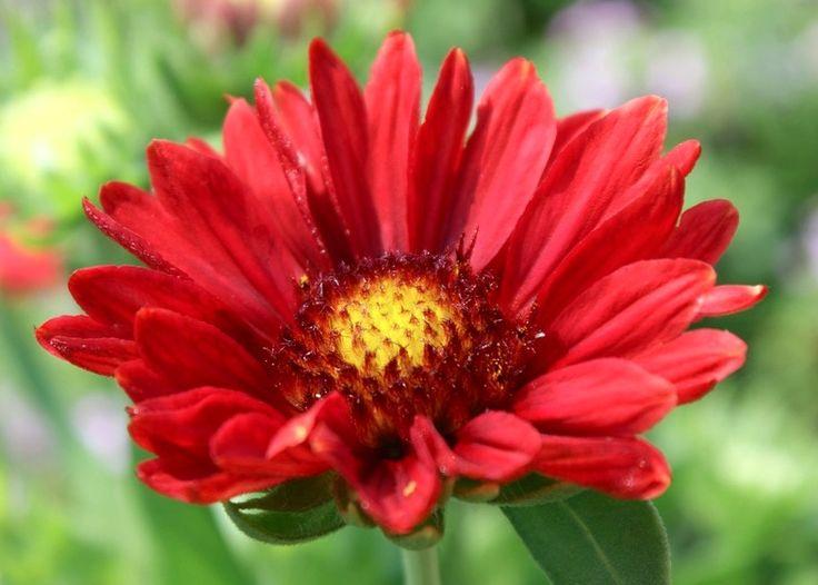 gaillardia aristata 152 best flowers gaillardia blanket flower images on pinterest