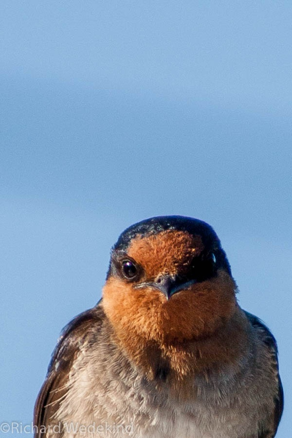 Welcome Swallow (Hirundo tahitica). Nesting in the eaves of our house.