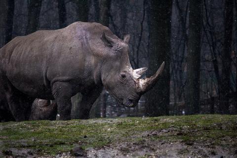 Rhino Vulnerable Status