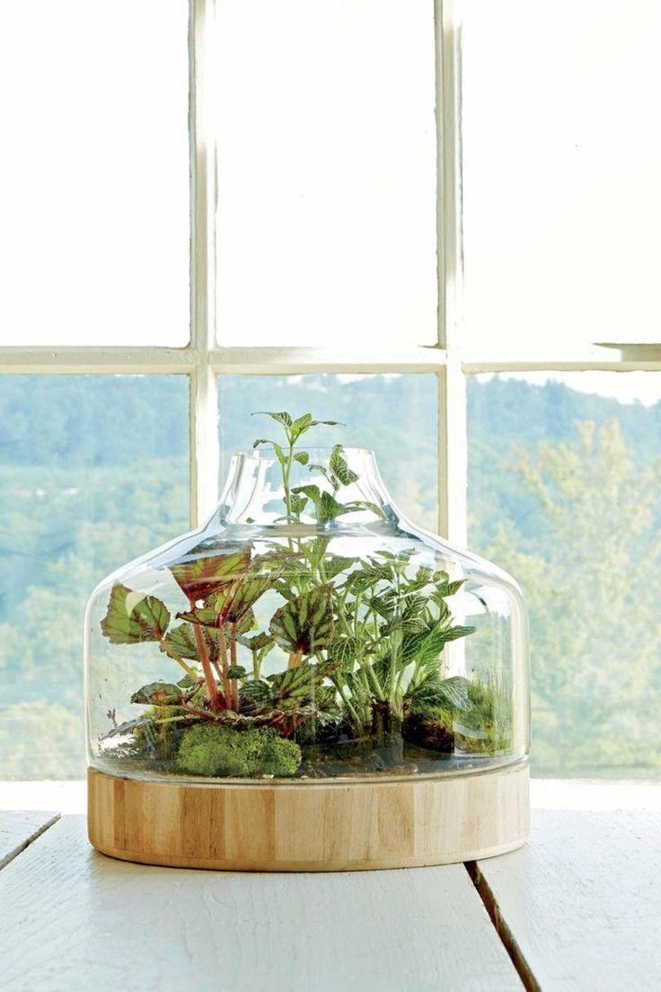 Pflanzgef e innen k nigs begonie fittonie moos glas idee - Zimmerpflanzen gestaltungsideen ...