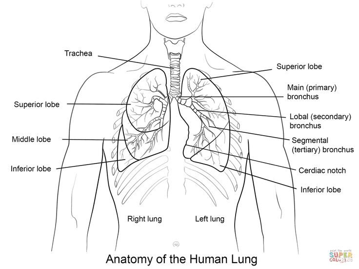 anatomy coloring pages of respiratory - photo#34