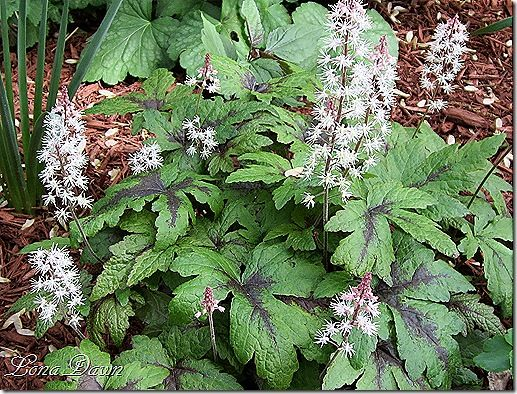 Tiarella 'Spring Symphony' - lightly scented flowers in late spring to early summer. The leaves knit together to make a light ground-cover with year-round interest - lovely with spring bulbs like daffodils.