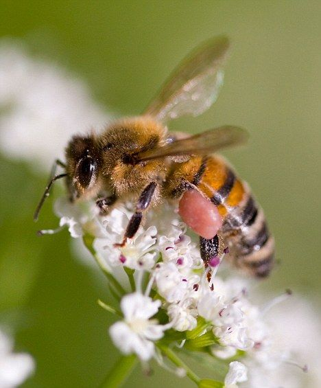 Scientists in the UK have calculated for the first time how much it would cost to pay humans to hand-pollinate, if bees became extinct.