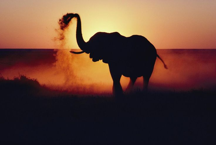 Picture of an elephant throwing dust at sunset