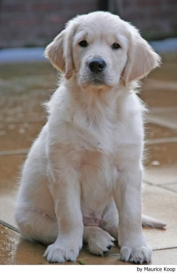 Fotos del Golden Retriever