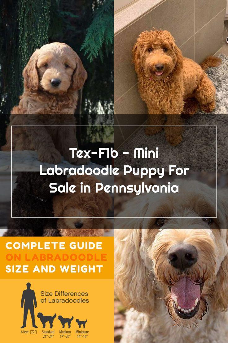 TexF1b Mini Labradoodle Puppy For Sale in Pennsylvania