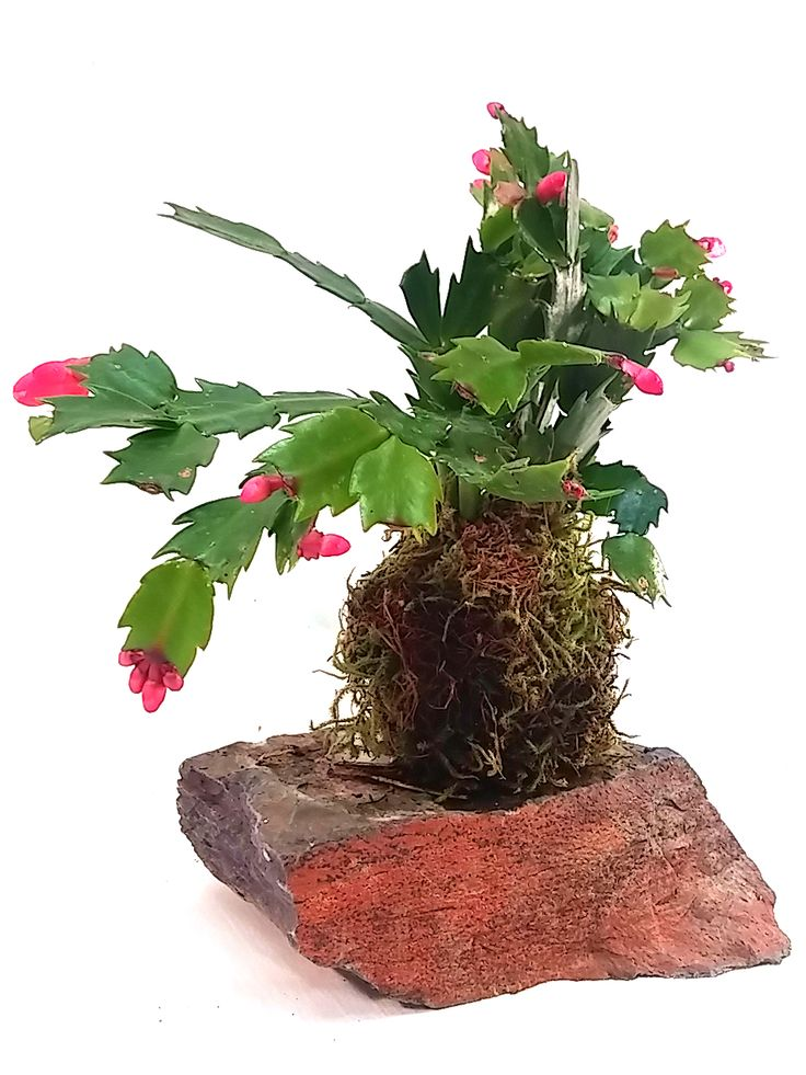17 Best Images About Kokedama Moss Ball Plants On