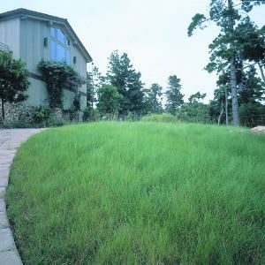 Imagine a feathery emerald green lawn that needs watering only once a week and requires just two mowings a year. It may sound futuristic, but 'Rana Creek' fescue (Festuca)--a variety of a California native perennial bunchgrass