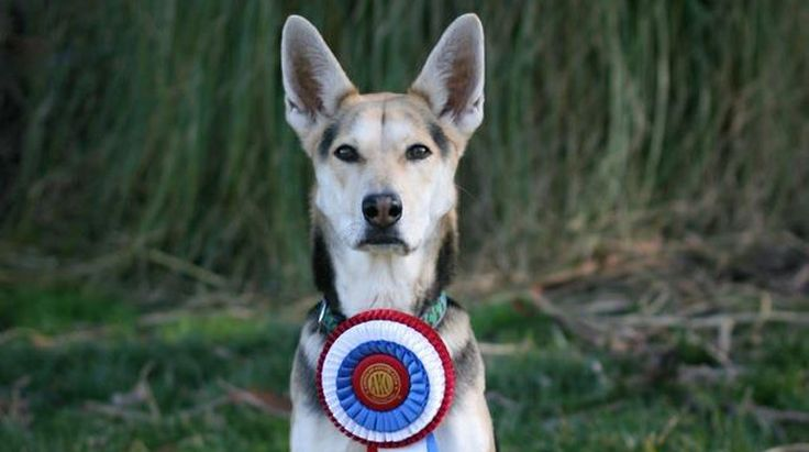 SF Mutt Husky Mix Roo! Named Best Mixed-Breed AtWestminster - ~~owned by trainer Stacey Campbell of San Francisco, got a special award on Saturday for the best mixed-breed dog at the the Westminster Kennel Club show's first agility competition. CBS San Francisco