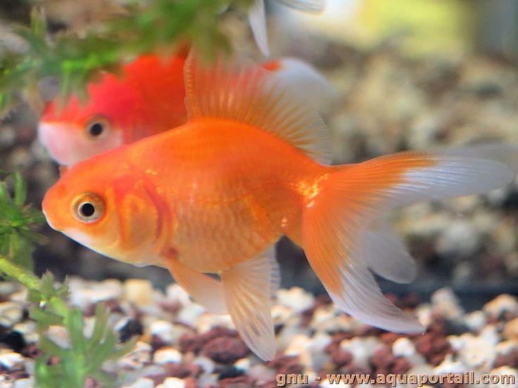 Le FanTail voile-de-Chine est un poisson rouge Wen en chinois