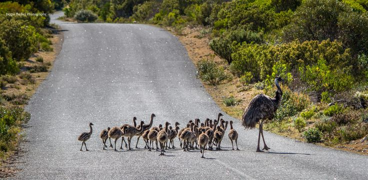 https://flic.kr/p/q6TK51 | Daddy Day Care | Male emu taking babies for a walk. It's possible that he has picked up a few strays on the way :)  Coffin Bay National Park South Australia