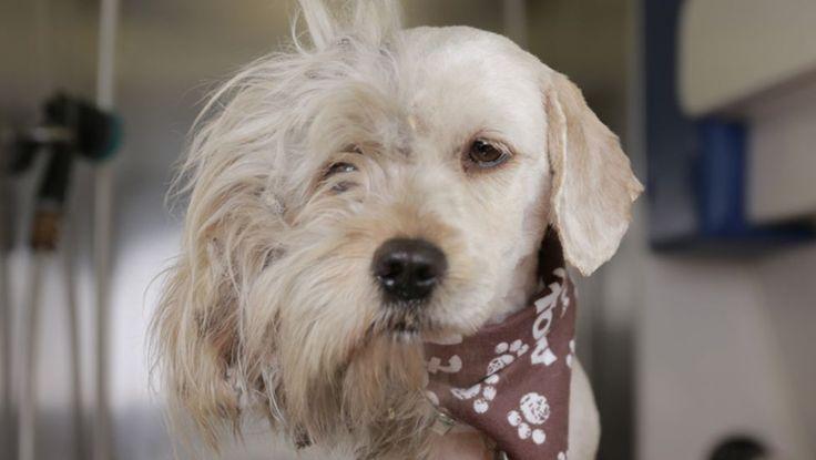 Un câine fără stăpân este tuns după ce e fost salvat de un adăpost de câini din California, Statele Unite ale Americii.