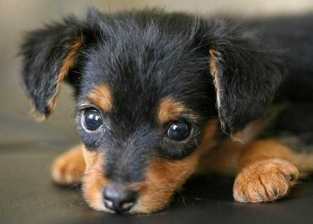 """Dorkie"" Yorkie/Mini Dachsun...SO ADORABLE"