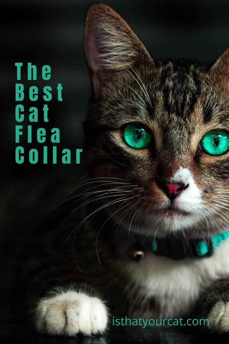 Check These Five Things When Choosing A Flea Collar For Your Cat In 2020 Cats Cat Fleas Cat Has Fleas