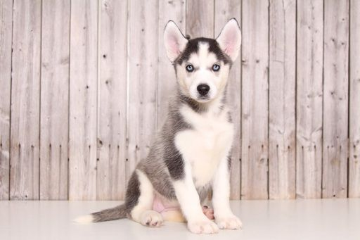 Siberian Husky puppy for sale in MOUNT VERNON, OH. ADN-52095 on PuppyFinder.com Gender: Female. Age: 9 Weeks Old