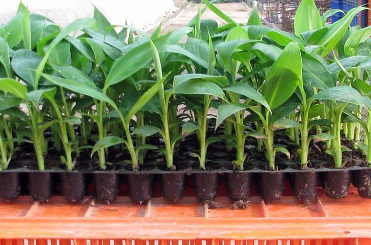 How To Grow Banana Trees In Pots...