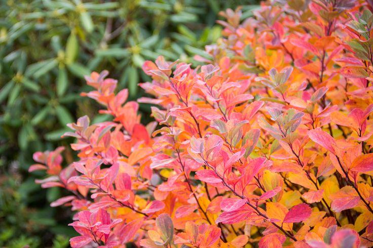 'Tor' birchleaf spirea (Spiraea betulifolia) - gorgeous fall colors