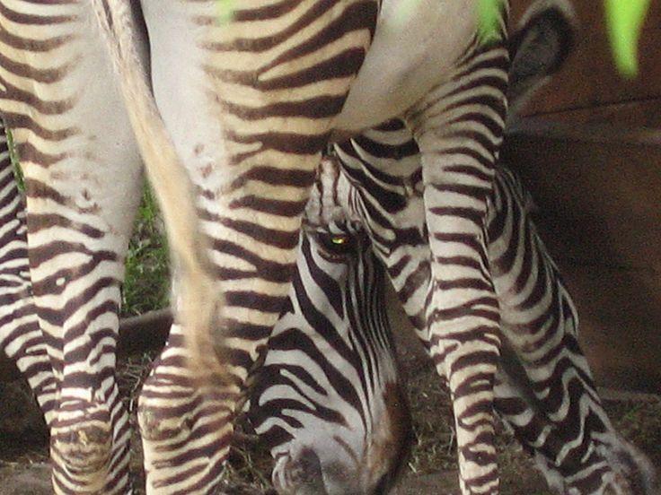 Zebras no jardim zoológico Hellbrunn