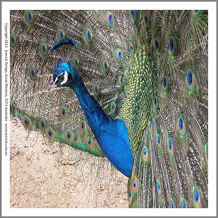 A beautiful male peacock in full display, printed on 100% cotton for quilting. Sizes are from 6 inches sq-12 inches sq.
