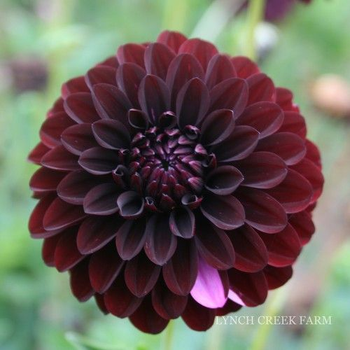 Dahlia Burgundy Black Flower: 17 Best Images About Dahlia Inspiration On Pinterest
