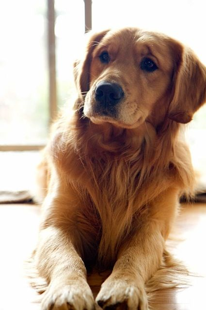 This is the look Max gives us all the time - so sweet! Golden Retriever