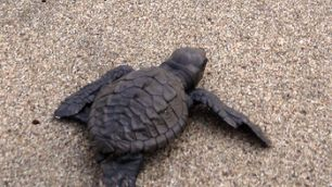 Sea Turtle Conservation in Manzanillo, Mexico | Global Volunteer Services / Work | Study Abroad Volunteer Programs