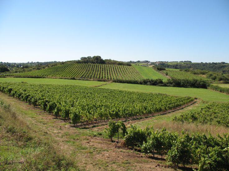 Les vignes du #Loire #Layon à #Chaudefonds sur Layon... #oenotourisme #loirelayon #valdeloire #loirevalley #jaimelanjou #jaimelafrance