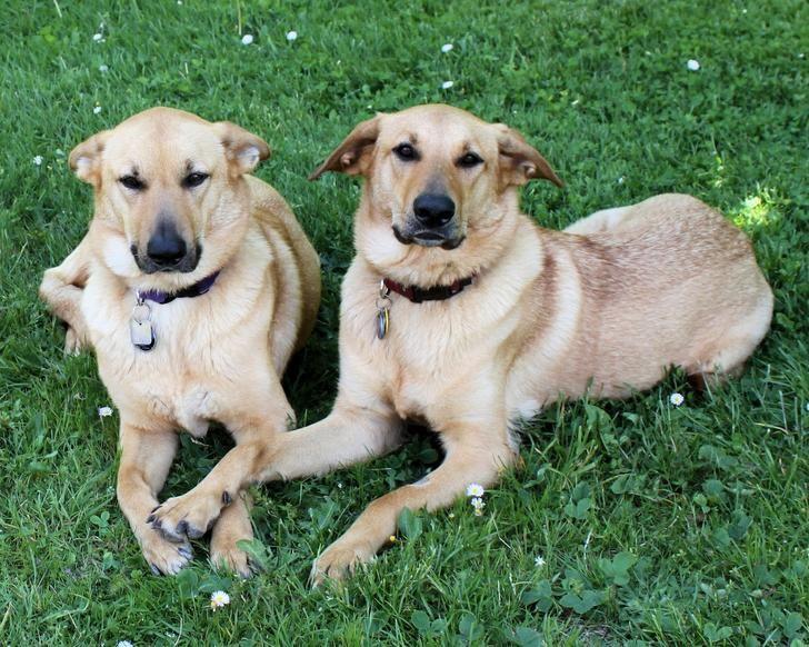 How To Train Dog To Use Pee Pad In 2 Weeks Chinook Dog Dog