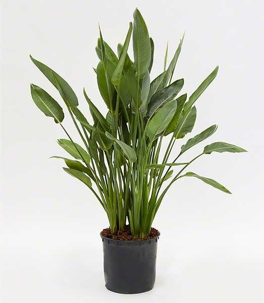 Strelitzia Large grijs/groen 1.30m ergens in de woonkamer 1 grote groene plant.
