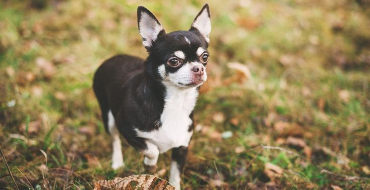 Chihuahua puppies for sale chihuahua breed info texas long