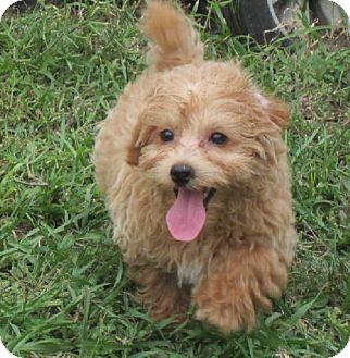 Yorkshire Terrier Nj Flanders, NJ - ...
