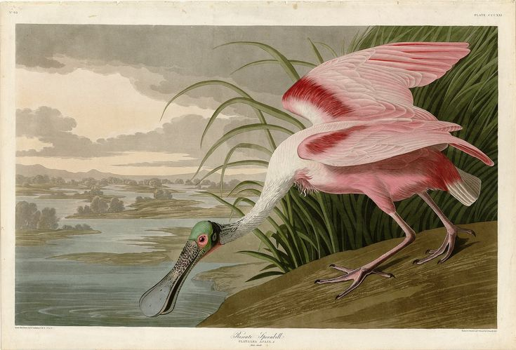 Rare Prints Roseate Spoonbill