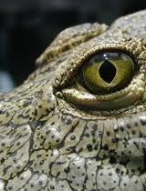 crocodile eyes - Google Search