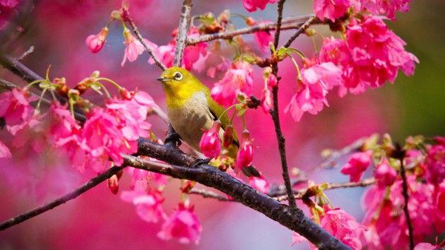 Cherry Blossom Wallpaper Night