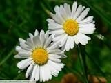 Sedmikráska chudobka, také sedmikráska obecná a lidově někdy chudobka, je vytrvalá léčivá rostlina z čeledi hvězdnicovitých. Je jediným českým druhem rodu sedmikráska.