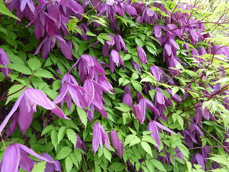 800px-Clematis_alpina_'Tage_Lundell'