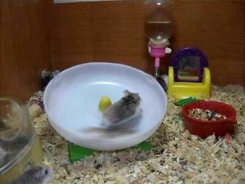 crazy hamsters playing!