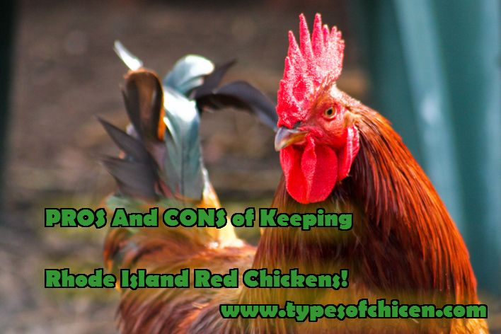 Want to know the PROS and CONS ofKeeping Rhode Island Red Chickens. Read the full article here and tell us what you think.