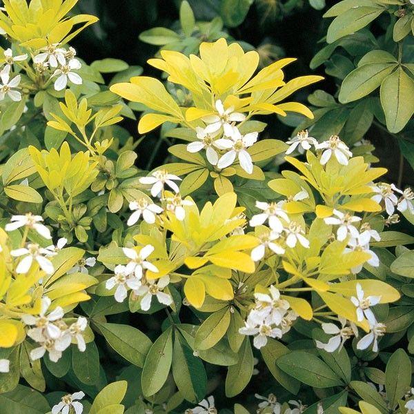 Choisya Ternata Sundance Mexican Orange Blossom Evergreen Shrub Zones 7 10 Partial To Full Sun Garden Pinterest Shrubs And Plants